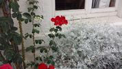 Climbing Altissimo rose photo