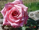 Prima Ballerina ® rose photo