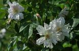 Fimbriata rose photo