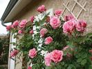 Armada ® rose photo