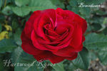 Braveheart ™ rose photo