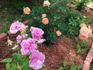 Lady of Shalott rose photo