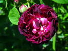 Orpheline de Juillet rose photo
