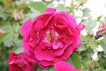 Mrs. Anthony Waterer rose photo