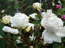 Blanche Moreau rose photo