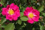 Anne of Geierstein rose photo