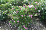 <i>Rosa damascena</i> semperflorens rose photo