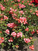 Amstelveen rose photo