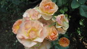 Sheila MacQueen rose photo
