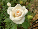 Swan Lake rose photo