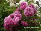 Excellenz von Schubert rose photo