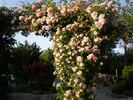Blush Rambler rose photo