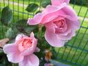 Brother Cadfael rose photo