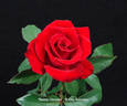 Tammy Clemons rose photo
