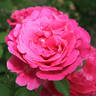 Schultheis Rose 'Old Spice' rose photo