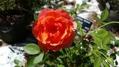 Matchless Mother rose photo