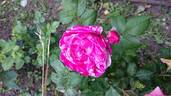 Moore's Striped Rugosa rose photo