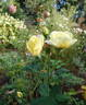 Ivory Triumph rose photo