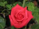 The Governator ™ rose photo