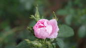 Julia Mannering rose photo