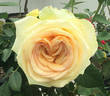 St. Patrick ™ rose photo