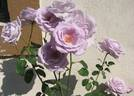 Mainzer Fastnacht rose photo