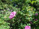 Belle Poitevine rose photo