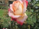 Frohsinn® '82 rose photo
