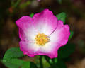 Tom Mayhew ™ rose photo