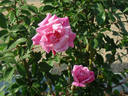 Old Blush rose photo