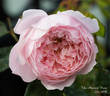 The Alnwick Rose rose photo