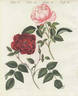 R. semperflorens rose photo