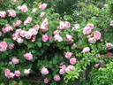 Constance Spry ® rose photo