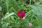 Falstaff ® ™ rose photo