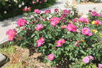 Wild Rover rose photo