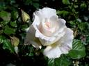 Renaissance rose photo