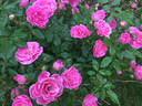 Gartendirektor Otto Linne rose photo