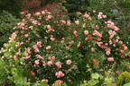 Aloha ® rose photo