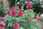 Crimson Glory rose photo