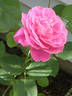 Pink Peace rose photo