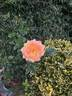 Centennial Star rose photo
