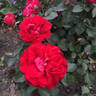 Canadian Shield™ rose photo