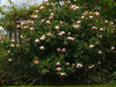 A Shropshire Lad rose photo