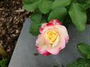Double Delight rose photo