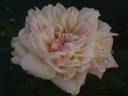 Madame Achille Fould rose photo