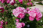 Pink Floriland rose photo