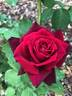 Dark Desire rose photo