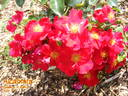 Alcantara rose photo