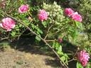 Madame Driout rose photo