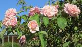 Elie Beauvilain rose photo